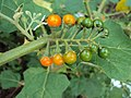 Solanum violaceum 04.JPG