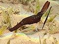 Solenostomus cyanopterus, Egipto.jpg