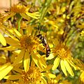 Solitary bee? on ragwort, Sandy, Bedfordshire (9900301674).jpg