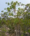 Somah or Cicada Tree (Ploiarium alternifolium) (15154381354).jpg