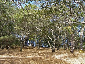 California oak woodland - California oak woodland on the east flank of Sonoma Mountain.