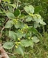 Sorbus badensis 030814.JPG