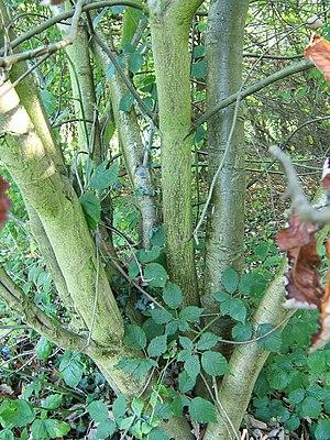 Sorbus mougeotii - Stems (with Rubus fruticosus foliage intertwined)