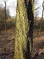 Sorbus torminalis sl3.jpg