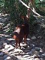 Southern pudú (Pudu puda) at Jacksonville Zoo.jpg