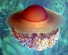 Cotylorhiza tuberculata, medusa huevo frito, abundante en el mar menor en verano pero no venenosa.