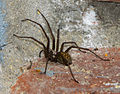Spinne in HH-Rahlstedt2.jpg