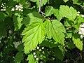 Spiraea chamaedryfolia var. pilosa 2.JPG