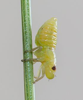 Spittlebug nymph (unknown species), East Lyn River, Devon, UK - Diliff.jpg