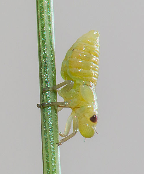 Tập tin:Spittlebug nymph (unknown species), East Lyn River, Devon, UK - Diliff.jpg