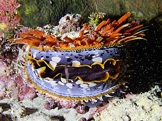 Spondylus - Spondylus varius in Mayotte.