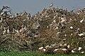Spot-billed Pelicans, Black-headed Ibises & Painted Storks nesting at Garapadu, AP W IMG 5229.jpg