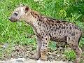 Spotted Hyaena (Crocuta crocuta) cub (13780114724).jpg