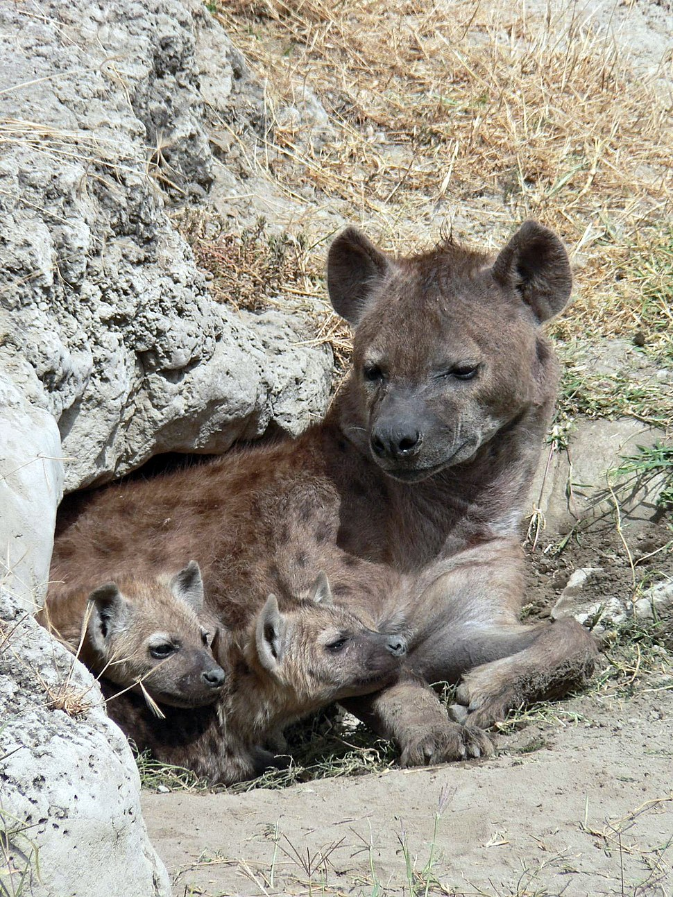 Spotted Hyena and young in Ngorogoro crater