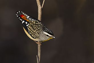 Spotted pardalote - The reddish rump of the nominate subspecies is clearly visible (Strangways, Victoria).