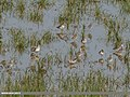 Spotted Redshank (Tringa erythropus) & Common Redshank (Tringa totanus) (27860075879).jpg
