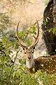Spotted deer Axis axis (2155275549).jpg