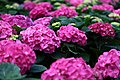 Spring-pink-hydrangea - West Virginia - ForestWander.jpg