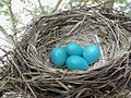 Springtime eggs in nature.JPG