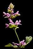 Stachys officinalis20170624 8072.jpg
