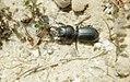 Stag' beetle. Sandy shore. Dos Mares Tarifa (37756836861).jpg