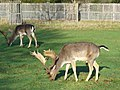 Stags Grazing, Bushy Park - geograph.org.uk - 1613712.jpg