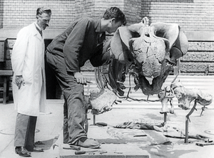 Friedrich von Huene - Friedrich von Huene (left) with a Stahleckeria dicynodont skeleton at University of Tübingen.
