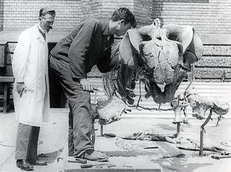 Friedrich von Huene - Friedrich von Huene (left) with a Stahleckeria dicynodont skeleton at University of Tübingen.