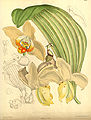 Stanhopea tricornis (as Stanhopea convoluta) - Curtis' 139 (Ser. 4 no. 9) pl. 8507 (1913).jpg