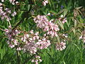 Staphylea holocarpa rosea (17045787887).jpg
