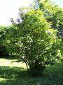 Staphylea pinnata.jpg