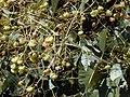 Starr-010304-0483-Tectona grandis-fruits-Kihei-Maui (24164238839).jpg