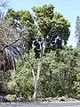 Starr-010330-0581-Pimenta dioica-habit-Rainbow park-Maui (24236541230).jpg
