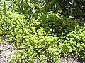 Starr-040318-0056-Marsilea villosa-habit-Maui Nui Botanical Garden-Maui (24071465624).jpg