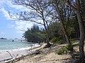 Starr-040711-0245-Casuarina equisetifolia-view coast-Malaekahana-Oahu (24085990164).jpg