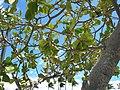 Starr-060922-9158-Clusia rosea-canopy and sky-Kahului Airport-Maui (24570286550).jpg