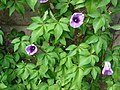 Starr-061106-1445-Ipomoea cairica-leaves and flowers-Maui Nui Botanical Garden-Maui (24750470252).jpg