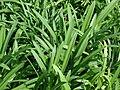 Starr-070906-8461-Agapanthus praecox subsp orientalis-Peter Pan Alba-Kula Ace Hardware and Nursery-Maui (24865113376).jpg