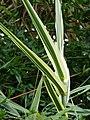 Starr-090430-6615-Arundo donax-variegated leaves-Kula-Maui (24326172983).jpg