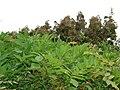 Starr-090430-6617-Wisteria floribunda-leaves-Kula-Maui (24657529690).jpg