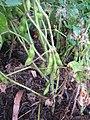 Starr-090611-0630-Glycine max-plants in garden-Olinda-Maui (24596530469).jpg