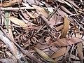 Starr-090804-3700-Acacia melanoxylon-leaves and seedpods on ground-MISC HQ Piiholo-Maui (24877837301).jpg