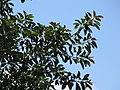 Starr-090806-4027-Ficus elastica-leaves-Kahului-Maui (24945464316).jpg