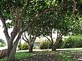 Starr-090813-4175-Barringtonia asiatica-habit-Kamalii Park Kahului-Maui (24945728846).jpg