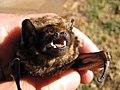 Starr-100907-9079-Eucalyptus sp-habitat with Hawaiian hoary bat Lasiurus cinereus semotus-Olinda-Maui (25051445615).jpg