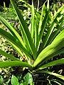 Starr-110215-1140-Crinum asiaticum-habit-KiHana Nursery Kihei-Maui (24957557842).jpg