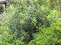 Starr-120319-3970-Macadamia integrifolia-some leaves smooth different looking-Upper Kimo Kula-Maui (25044812861).jpg