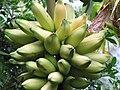Starr-121108-0840-Musa x paradisiaca-Iholena Maia Lele variety fruit-Pali o Waipio-Maui (24569636943).jpg