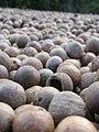 Starr-130214-1527-Macadamia integrifolia-lots of nuts-Waihee-Maui (25179353446).jpg