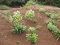 Starr-130319-3164-Dianella sandwicensis-plantings-Kilauea Pt NWR-Kauai (24578099444).jpg